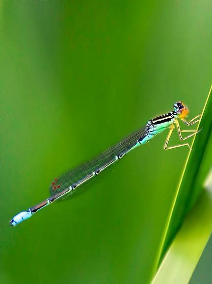 Rainbow Bluet Photo by Dan Tallman