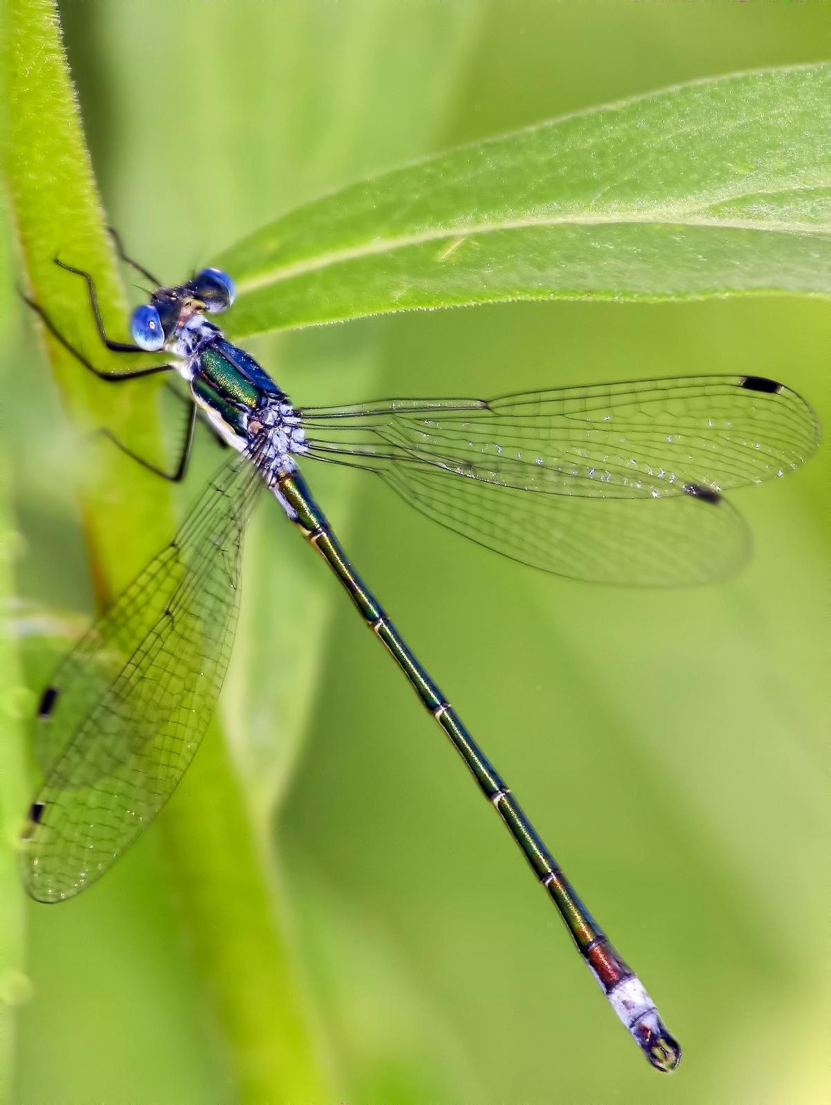 Emerald Spreadwing Photo by Dan Tallman