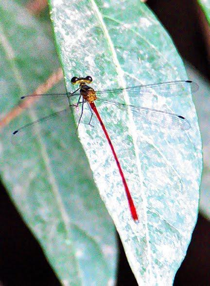 Heteragrion erythrogastrum Photo by Dan Tallman
