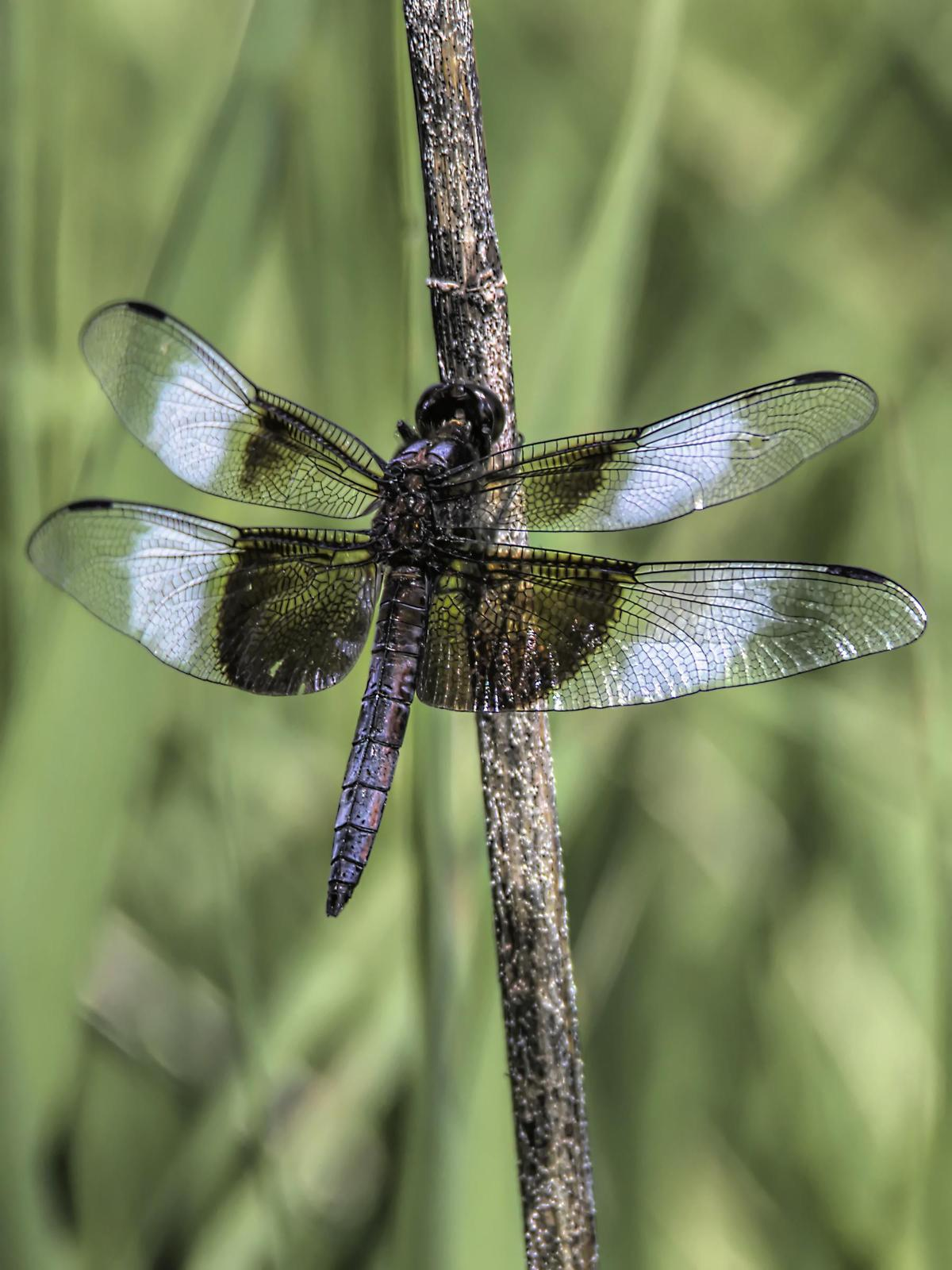 Widow Skimmer Photo by Dan Tallman
