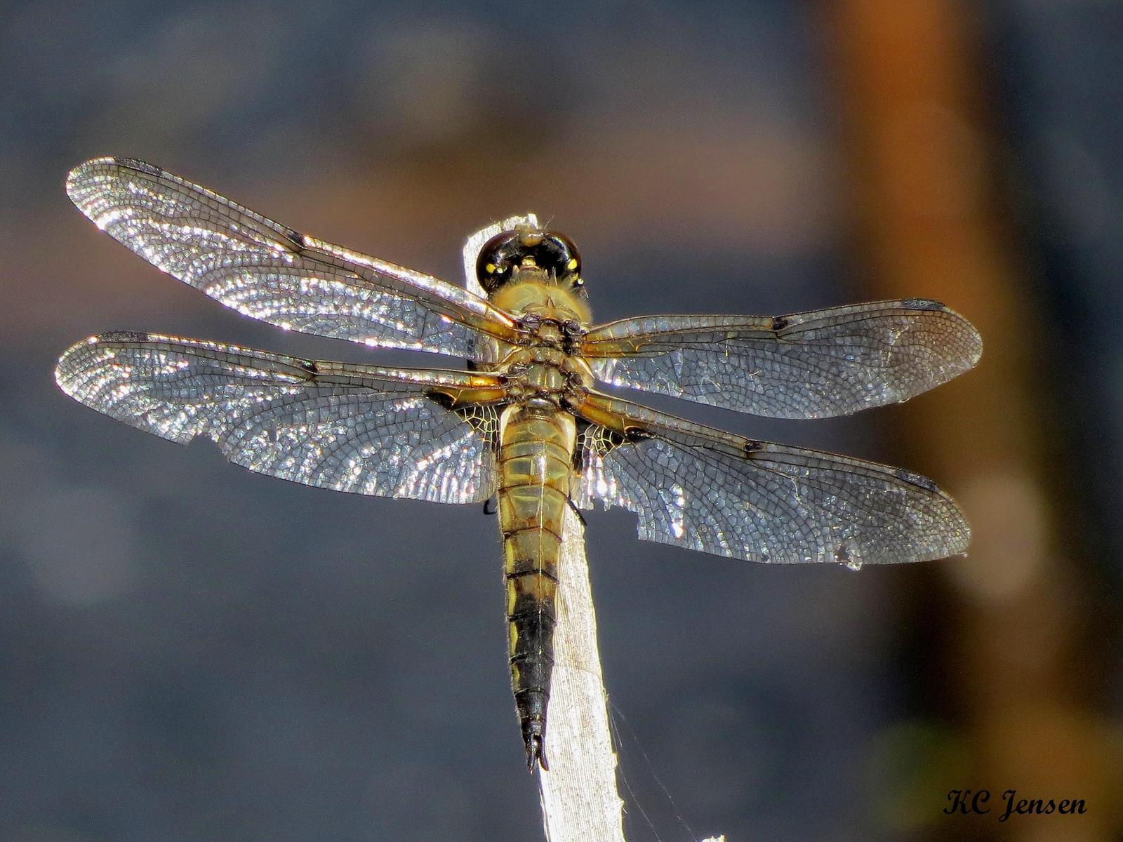 Four-spotted Skimmer Photo by Kent Jensen