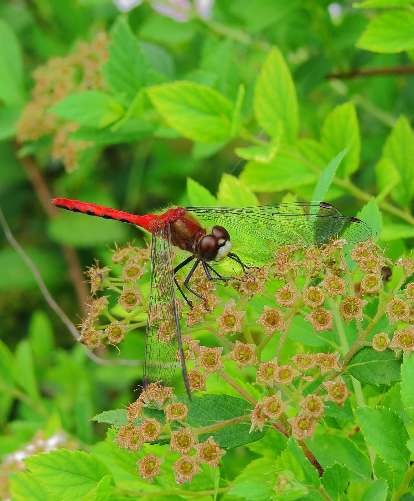 White-faced Meadowhawk Photo by Kent Jensen