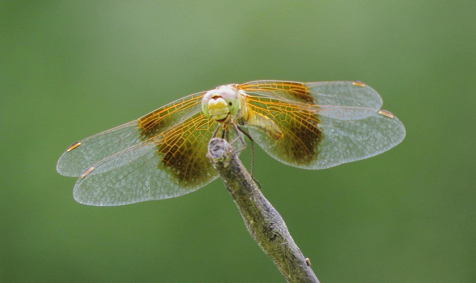 Band-winged Meadowhawk Photo by Kent Jensen