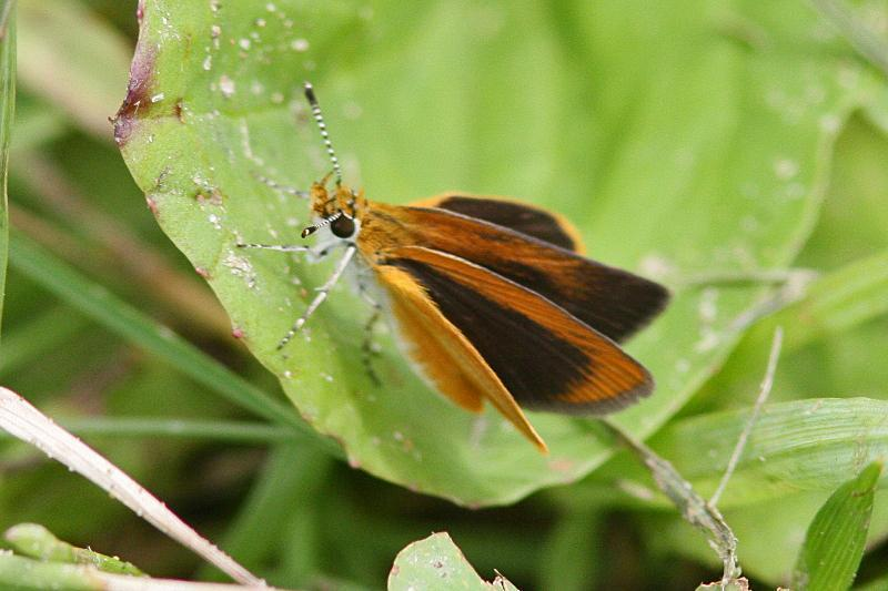 Ottoe Skipper Photo by Terry Hibbitts