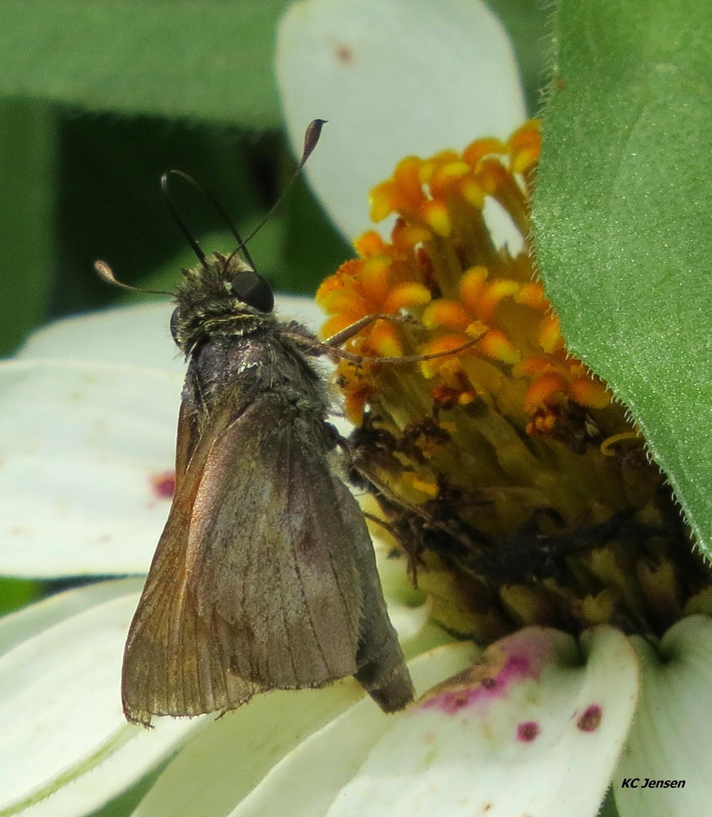Sachem Skipper Photo by Kent Jensen