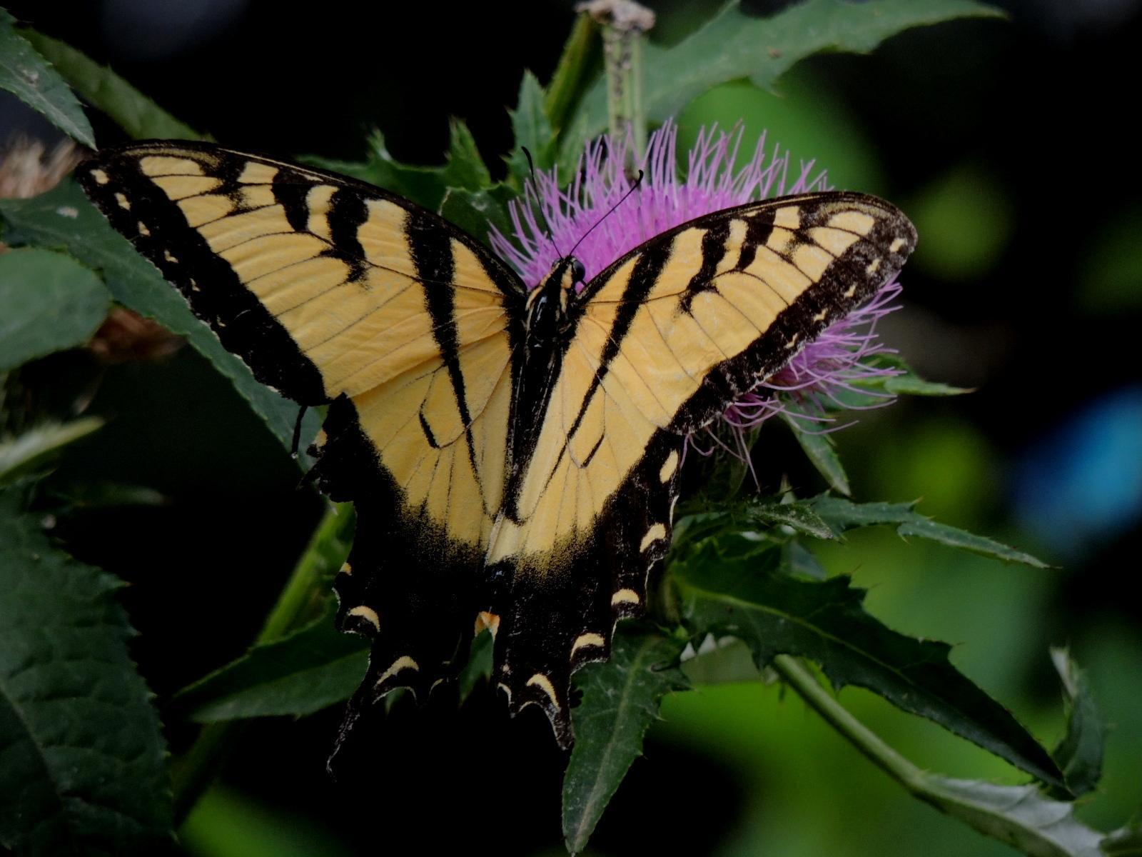 Eastern Tiger Swallowtail Photo by Tony Heindel