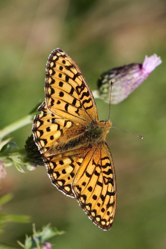 Great Basin Fritillary Photo by Terry Hibbitts