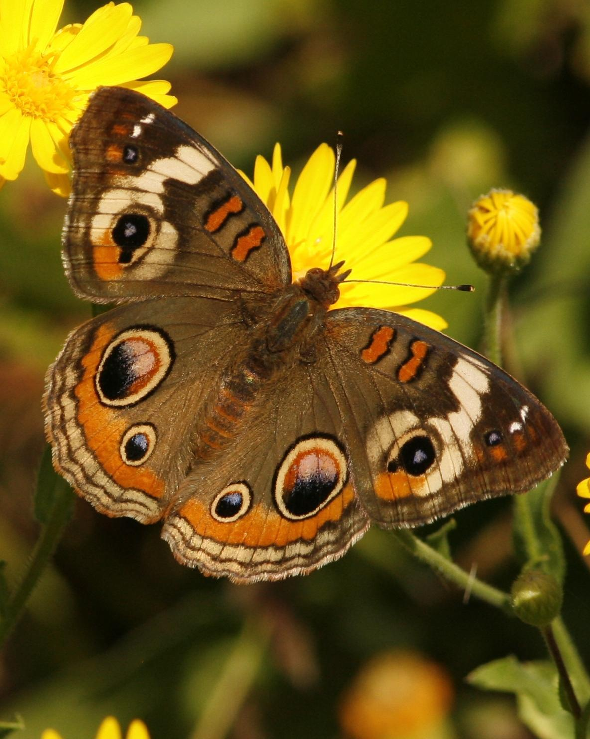 Common Buckeye Photo by Oscar Johnson