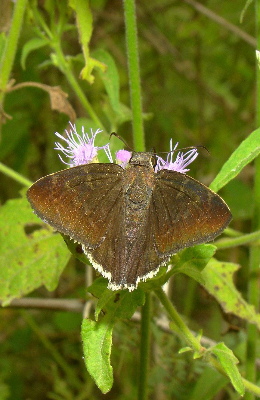Coyote Cloudywing Photo by Robert Behrstock
