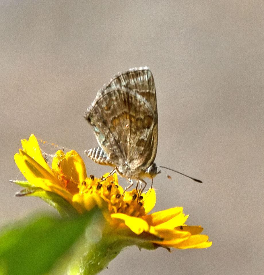 Lantana Scrub-Hairstreak Photo by Scott Berglund