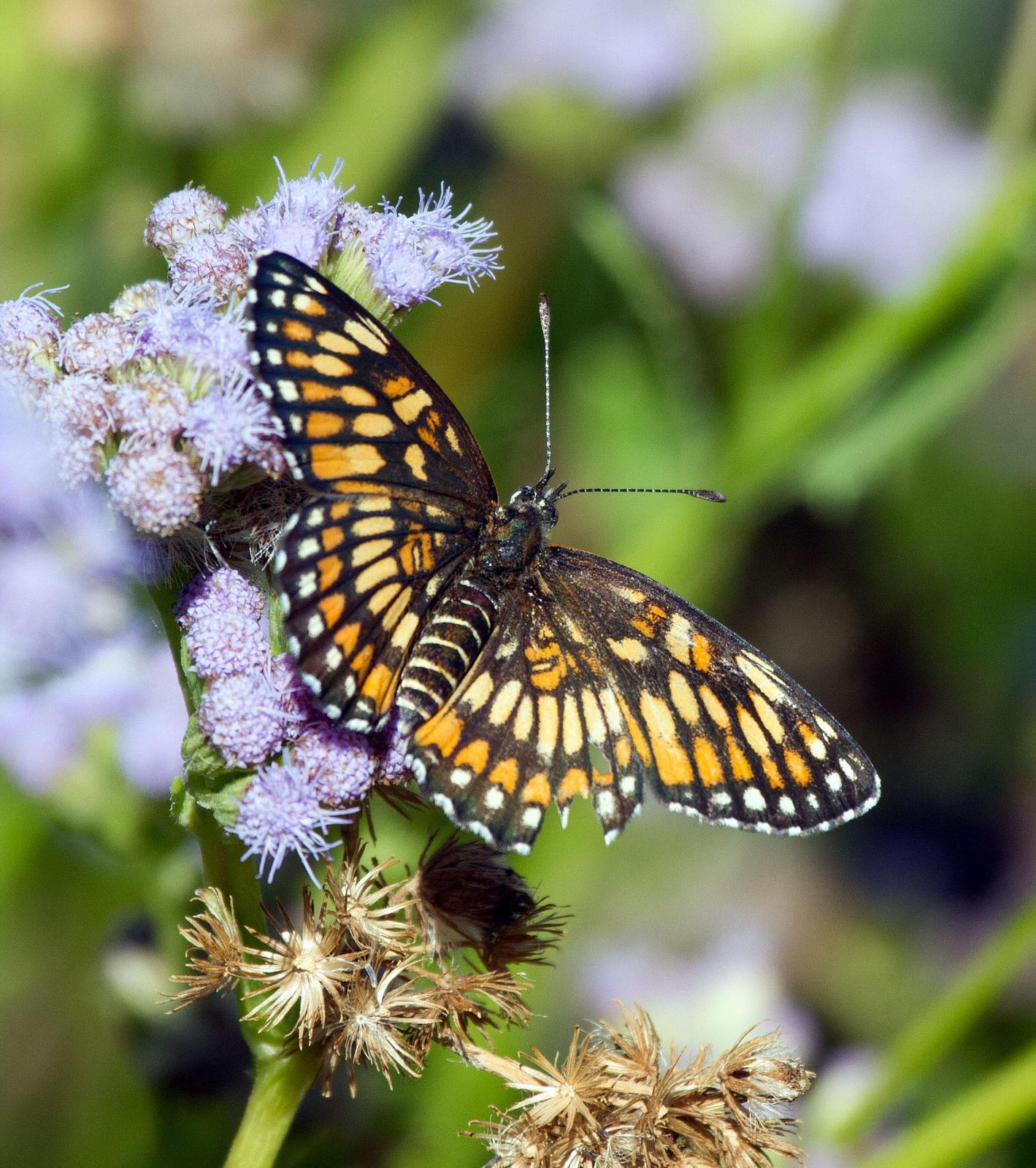 Theona Checkerspot Photo by Scott Berglund