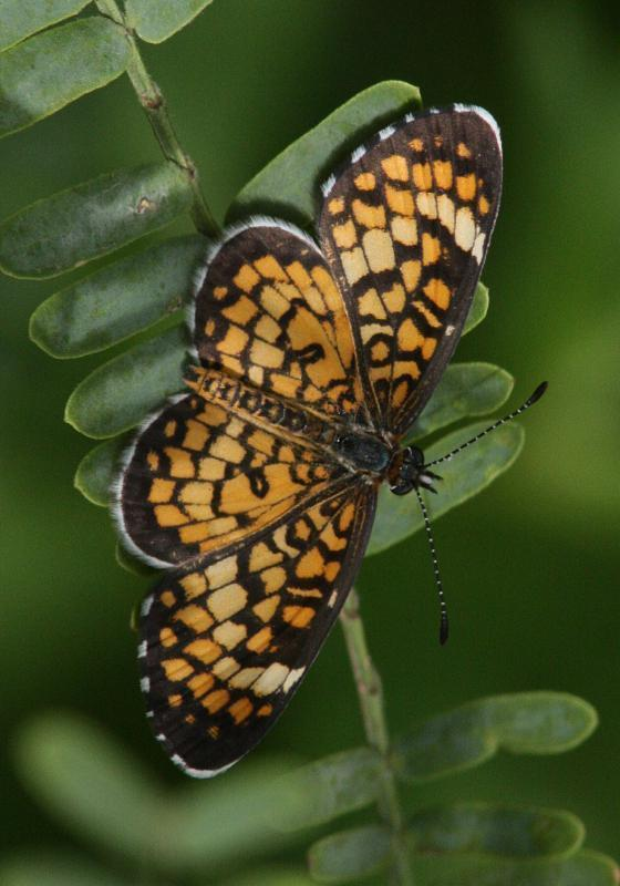 Tiny Checkerspot Photo by Terry Hibbitts