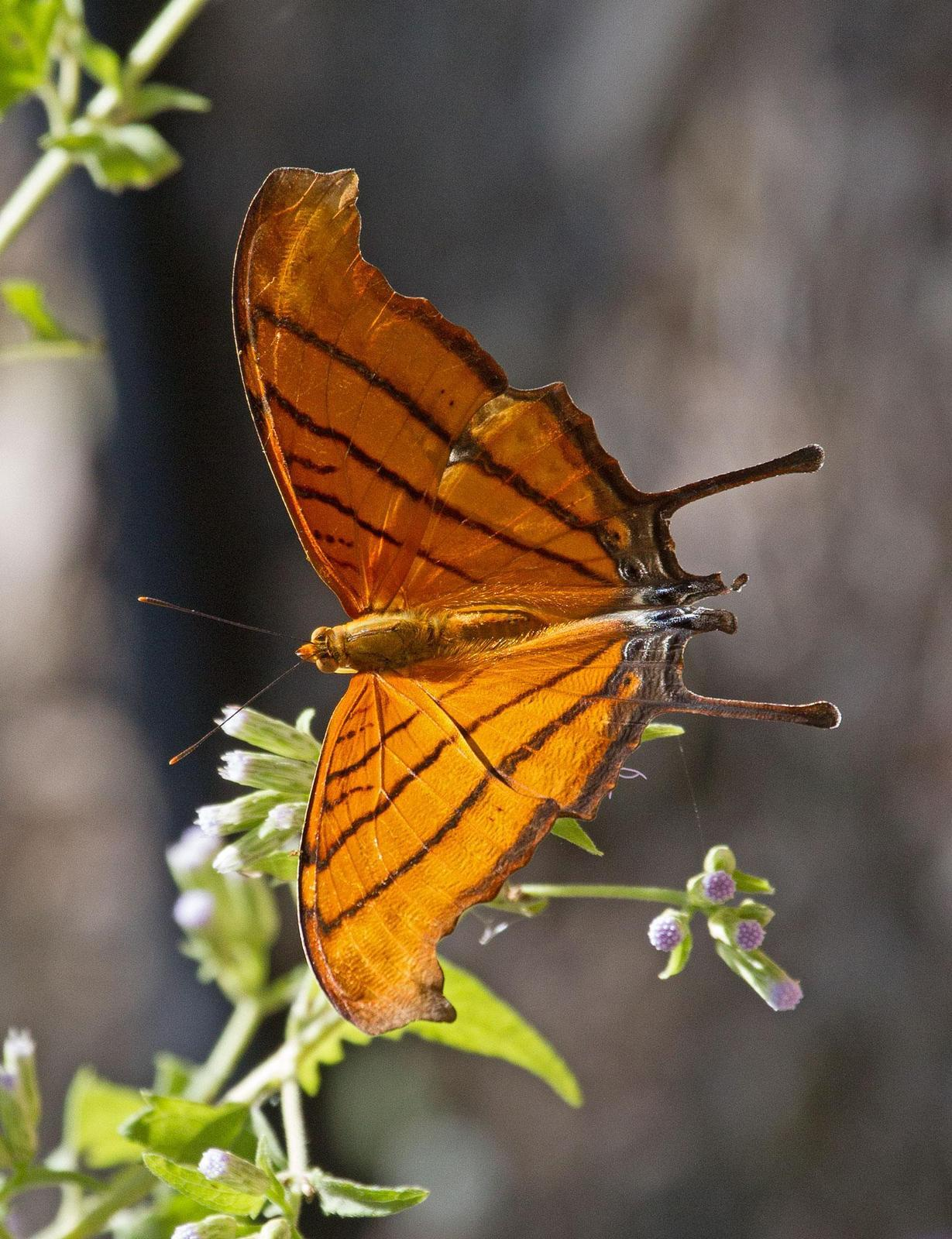 Ruddy Daggerwing Photo by Scott Berglund