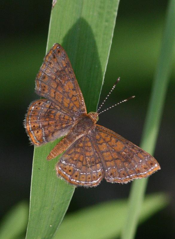 Rawson's Metalmark Photo by Terry Hibbitts