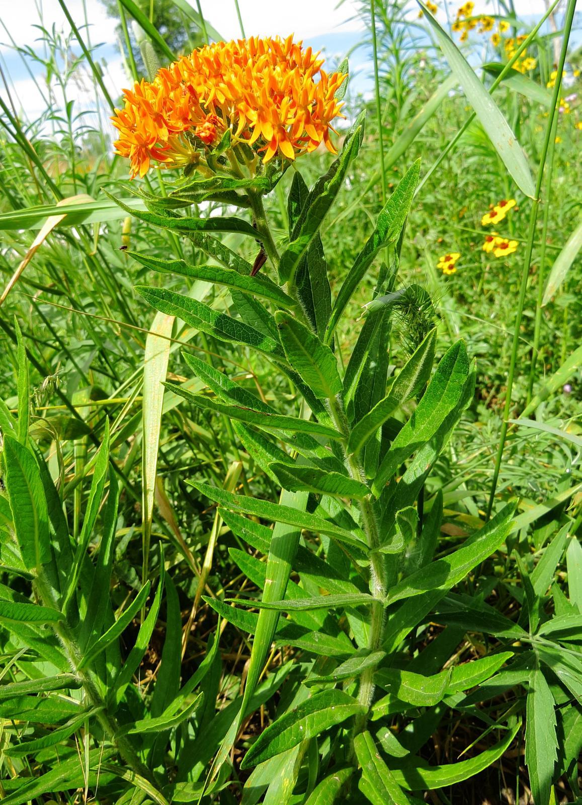 Butterfly milkweed Photo by Kent Jensen