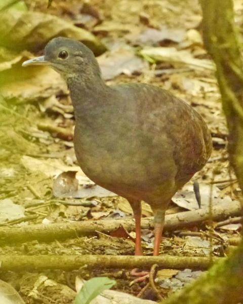 Slaty-breasted Tinamou