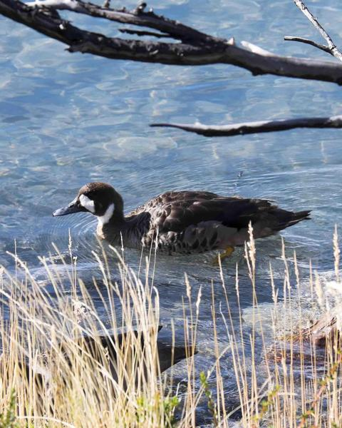 Spectacled Duck