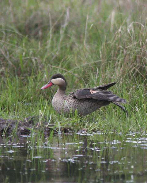 Red-billed Duck