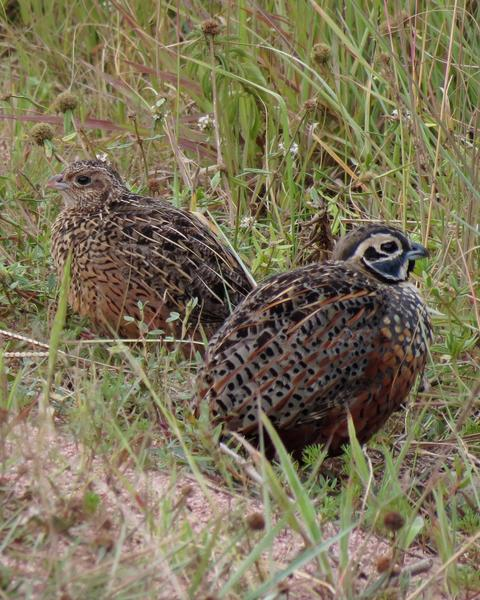 Ocellated Quail