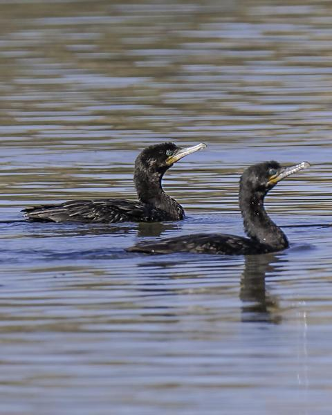Double-crested Cormorant