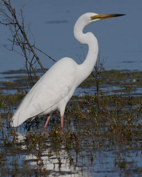 Great Egret (Australasian)
