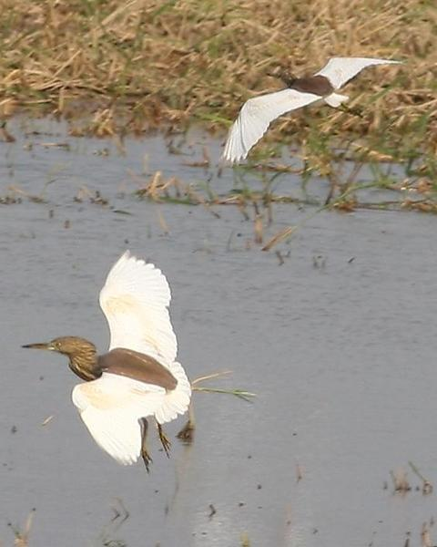 Chinese Pond-Heron