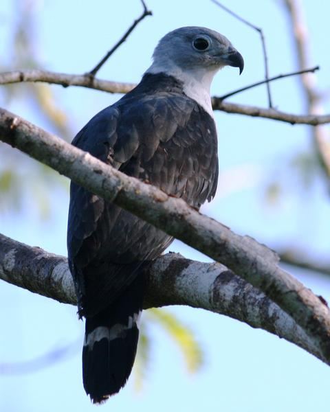 Gray-headed Kite