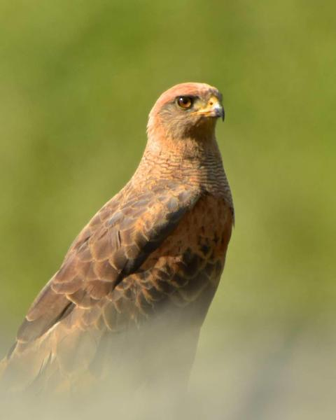 Savanna Hawk