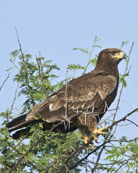 Indian Spotted Eagle