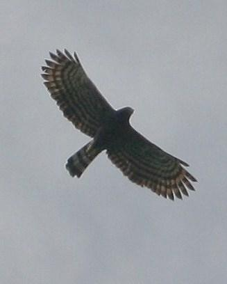 Black Hawk-Eagle