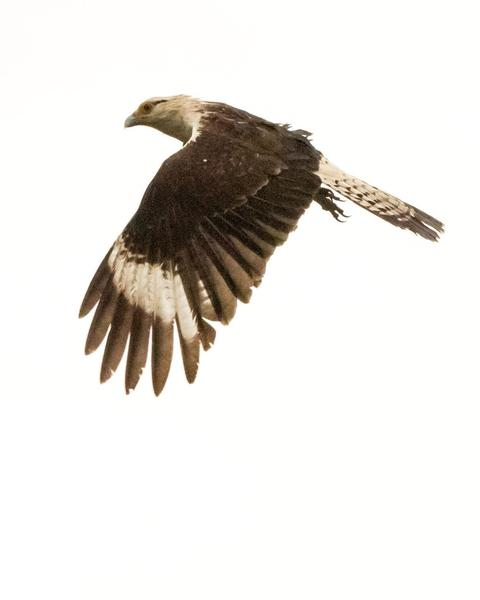 Yellow-headed Caracara