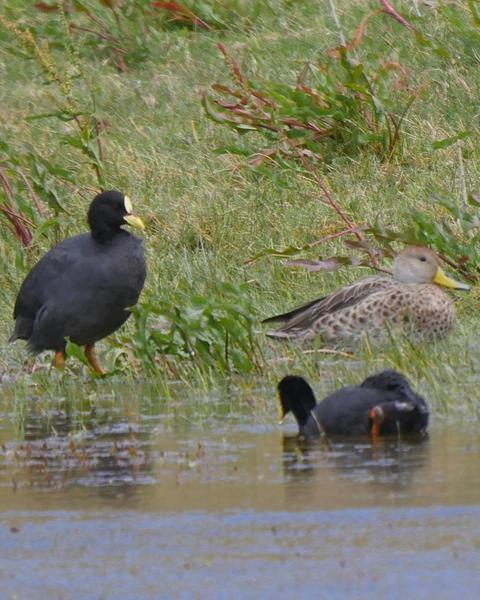 Red-gartered Coot