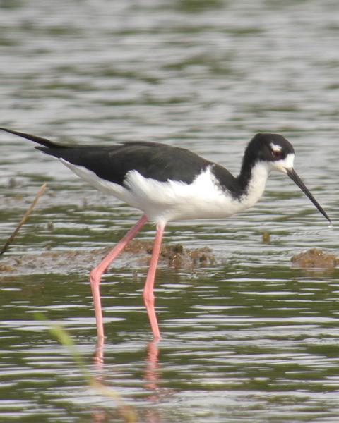Black-necked Stilt (Hawaiian)