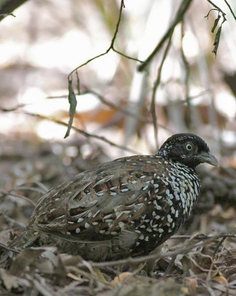 Black-breasted Buttonquail