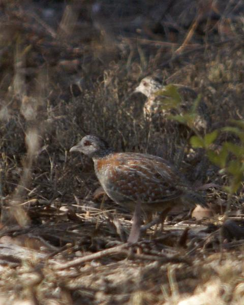 Painted Buttonquail