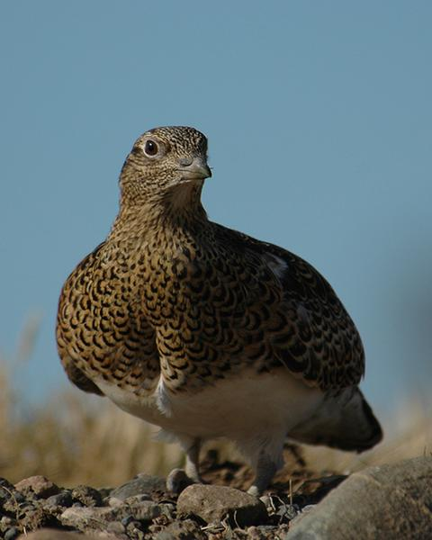 White-bellied Seedsnipe
