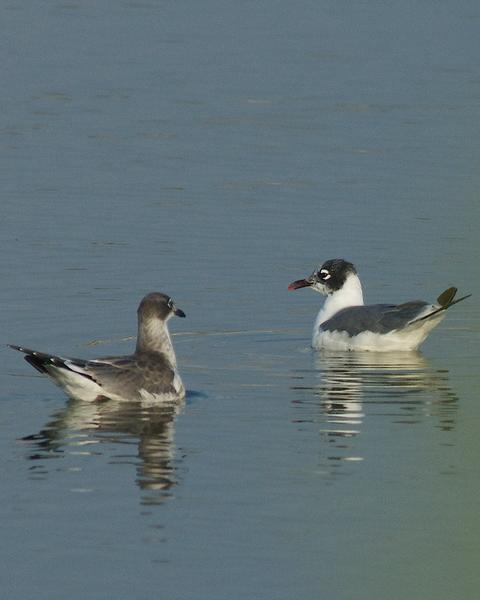Franklin's Gull
