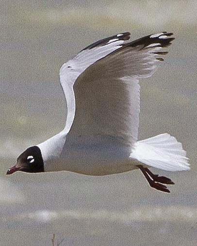 Relict Gull