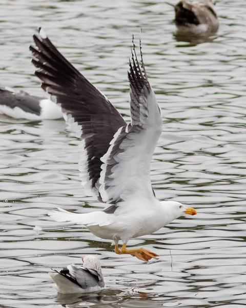 Yellow-footed Gull