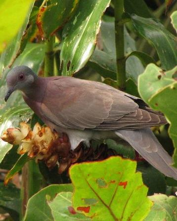 Pale-vented Pigeon