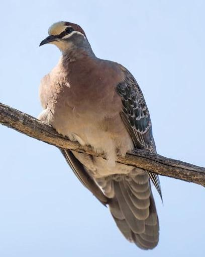 Common Bronzewing
