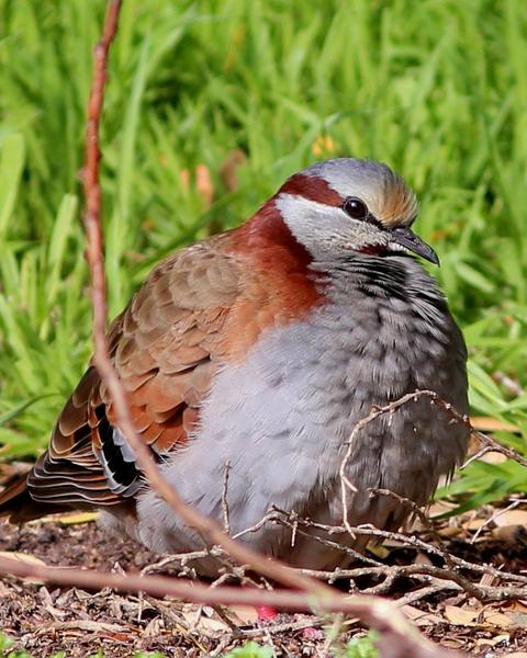 Brush Bronzewing