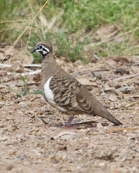 Squatter Pigeon