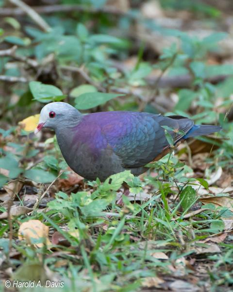 Gray-fronted Quail-Dove