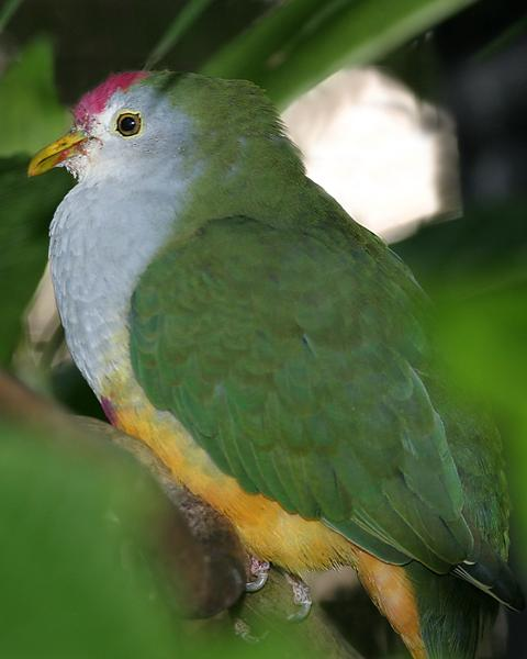 Beautiful Fruit-Dove