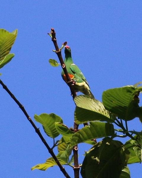 Knob-billed Fruit-Dove