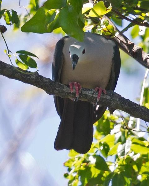 Pacific Imperial-Pigeon