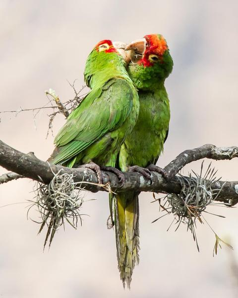 Red-masked Parakeet