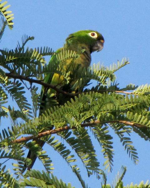 Olive-throated Parakeet