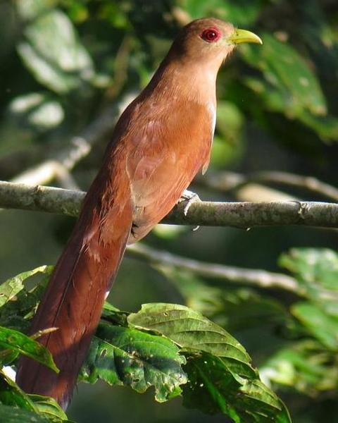 Squirrel Cuckoo (Amazonian)
